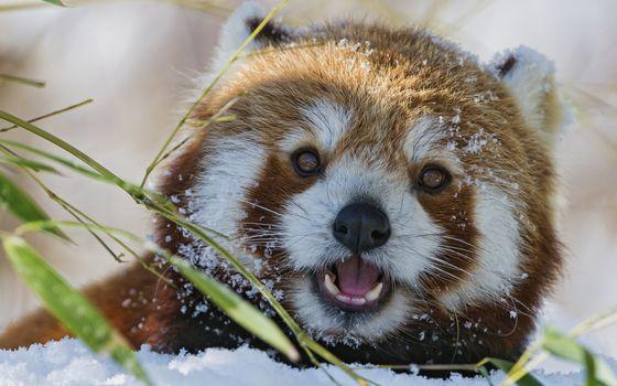 Фото бесплатно зверек, морда, глаза, шерсть, трава, снег