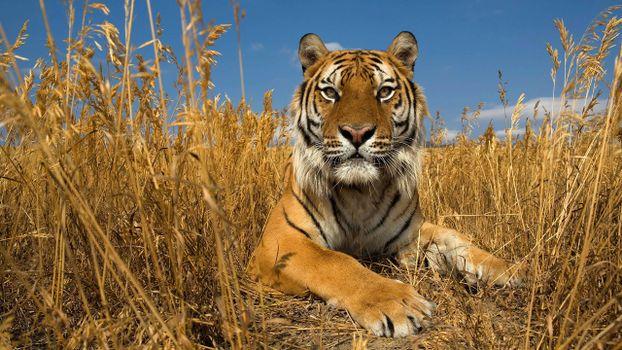 Фото бесплатно тигр в траве, отдых, взгляд
