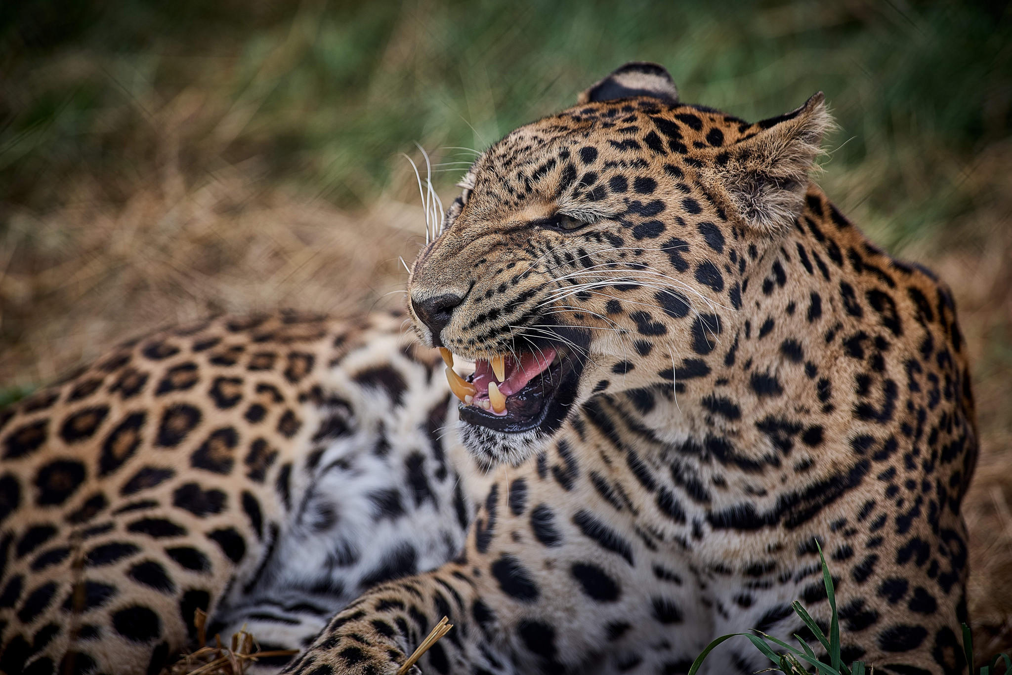 обои леопард, хищник, животное картинки фото