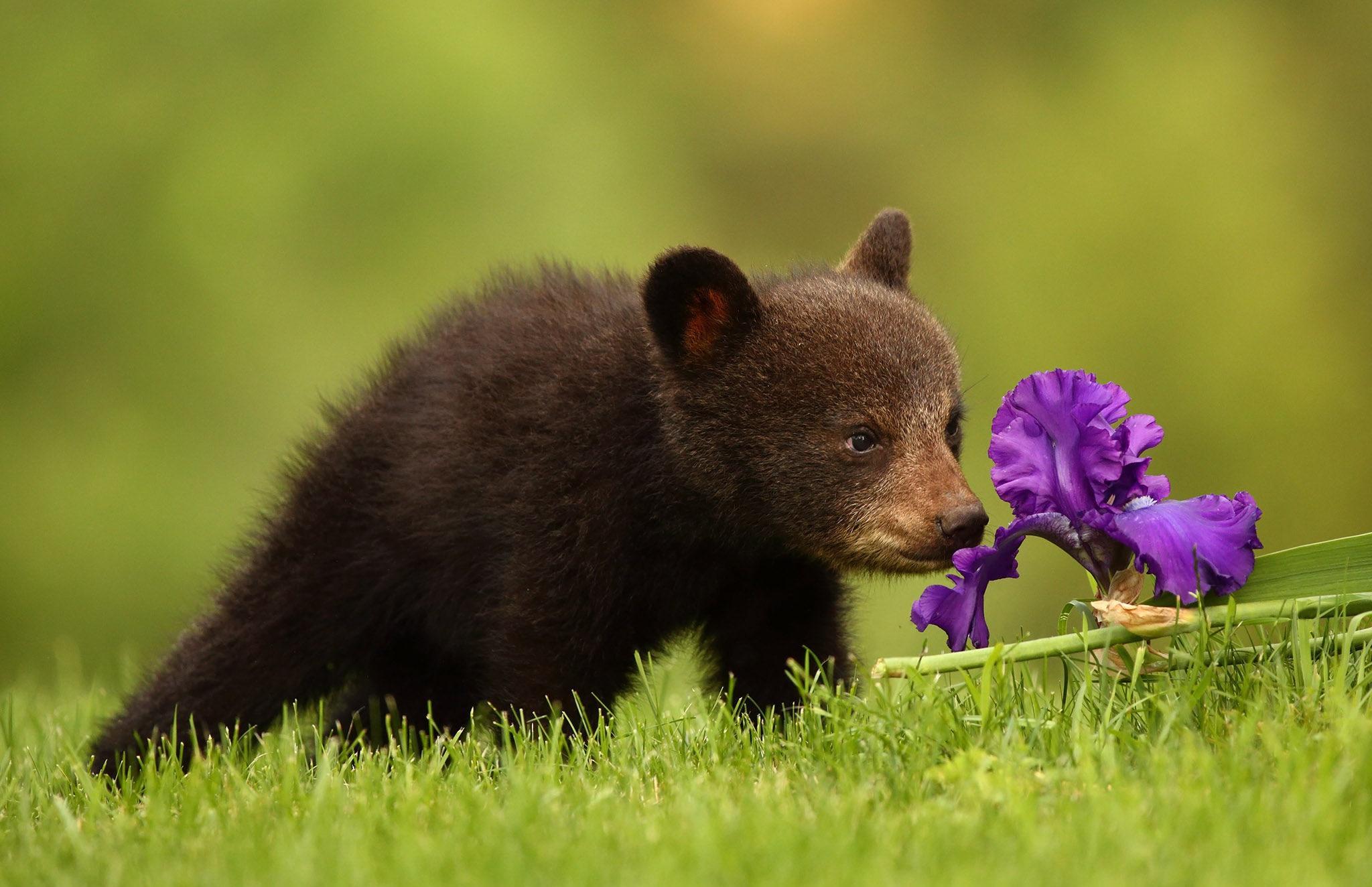 Обои ирис, цветок, медвежонок, малыш