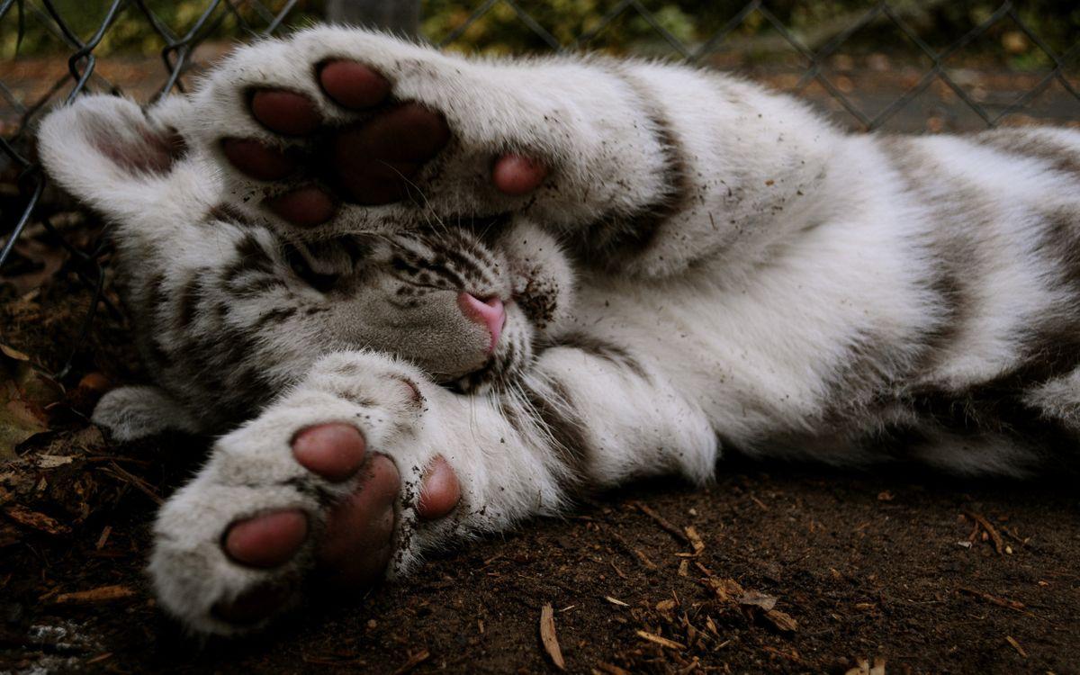 Фото бесплатно бенгальский, тигренок, альбинос, морда, лапы, шерсть, кошки