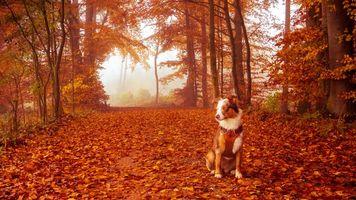 Бесплатные фото осень,лес,деревья,туман,пейзаж,собака
