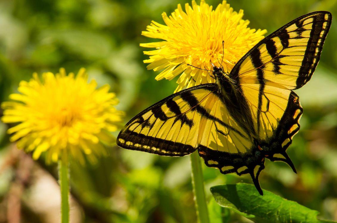 Фото бесплатно Парусник главк, бабочка, одуванчики, цветы, макро - на рабочий стол