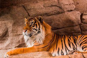 Фото бесплатно тигр, Sumatran tiger, хищник