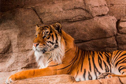 Photo free tiger, Sumatran tiger, predator