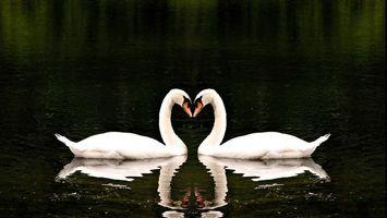 Бесплатные фото лебеди,пара,клювы,крылья,хвосты,перья,водоем