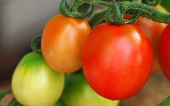 Бесплатные фото помидоры,томаты,овощ,зеленые,красные,веточка