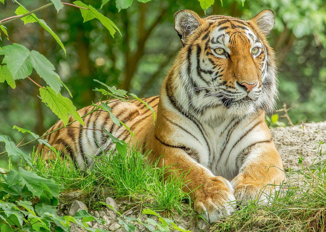 Красивые обои хищник, тигр