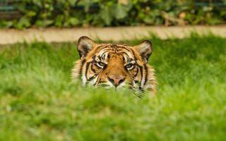 Бесплатные фото тигр,морда,глаза,шерсть,трава,зеленая