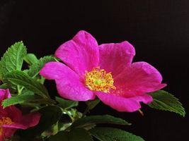 Фото бесплатно цветок, цветы, пионы