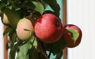 Бесплатные фото фрукты,яблоки,листья,зеленые