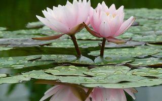 Бесплатные фото водоем,листья,зеленые,капли,лотосы,розовые