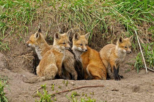 Заставки на тему лисёнок, лиса
