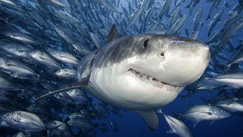 Фото бесплатно акула, челюсти, глаза