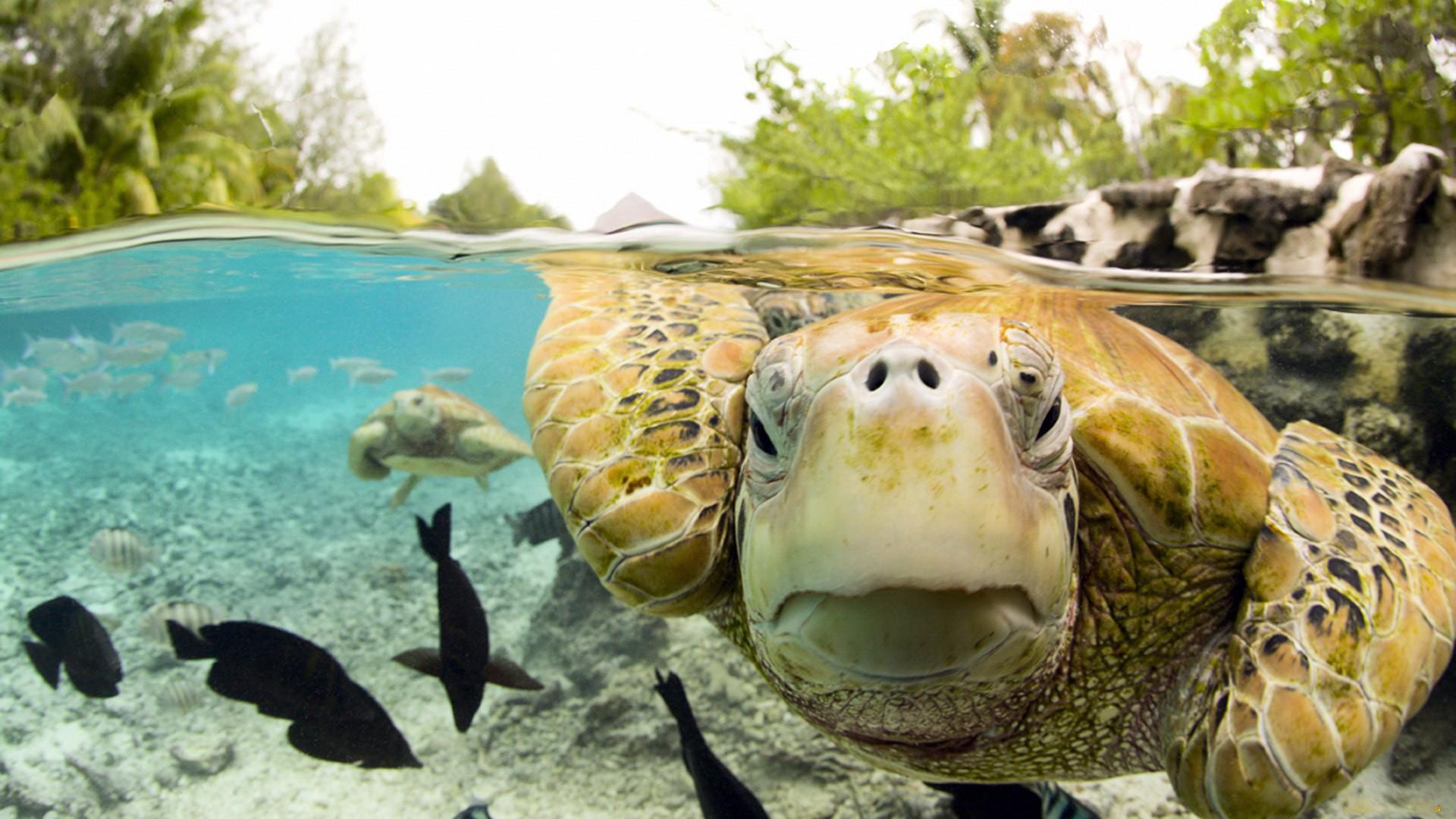 черепаха, морская, вода