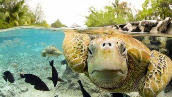 Обои черепаха, морская, вода, пруд, река, океан, волна, фото, рыбы, маленькие, деревья, небо