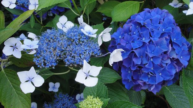 Фото бесплатно гортензия, цветок, листья