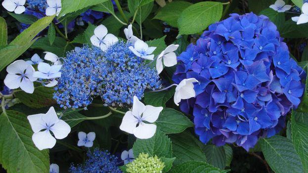 Photo free hydrangea, flower, leaves