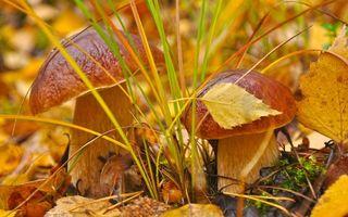 Обои грибы, лес, трава, осень, листья, мох, шляпка, ножка, желтый, макро, природа