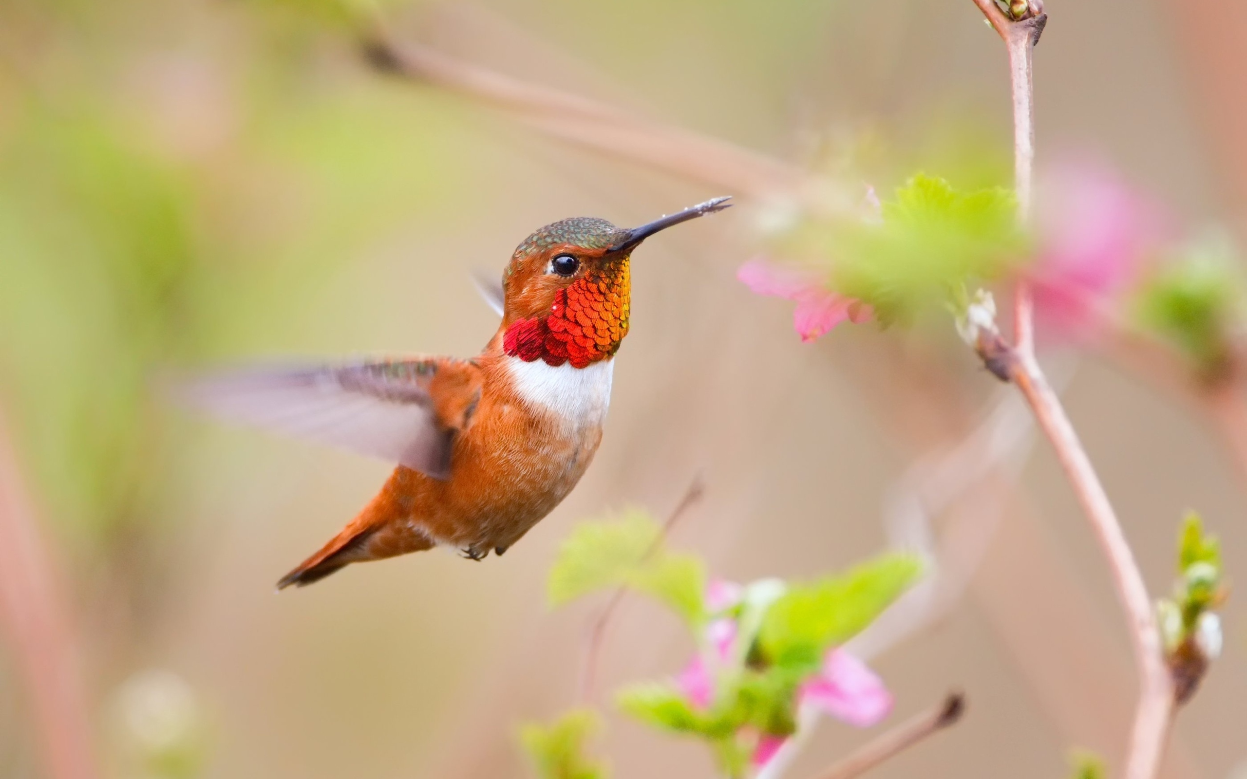 животное птица колибри макро без смс
