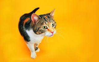 Бесплатные фото кот,домашний,шерсть,глаза,уши,заставка,фон