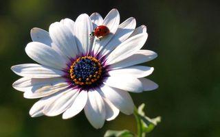 Фото бесплатно цветы, божья коровка, стебель