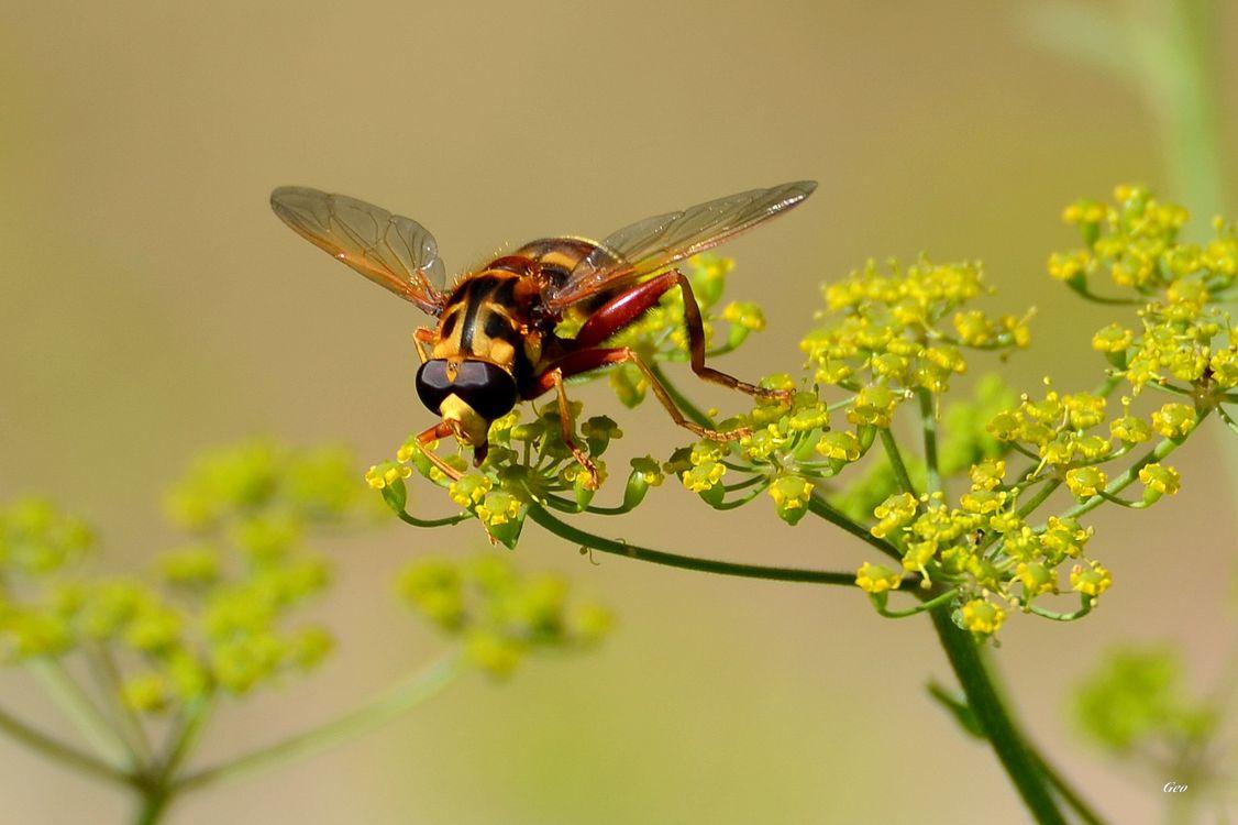 Фото мед насекомое цветы - бесплатные картинки на Fonwall