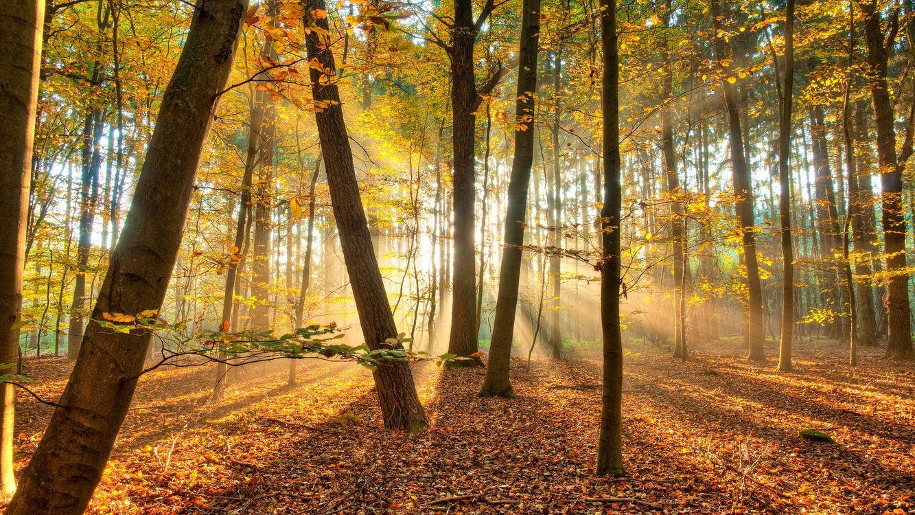 Фото бесплатно осень, лес, деревья, листья, лучи, свет, солнце, листопад, природа, природа - скачать на рабочий стол