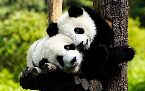 Заставки панда, дерево, лес, помост, мех, шерсть, вместе, любовь, животные, природа
