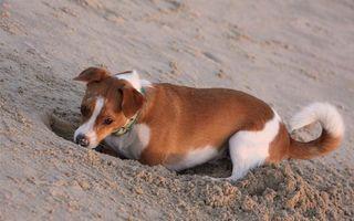 Заставки пес, щенок, хвост, шерсть, порода, песок, яма, рыть, берег, пляж, уши, нос