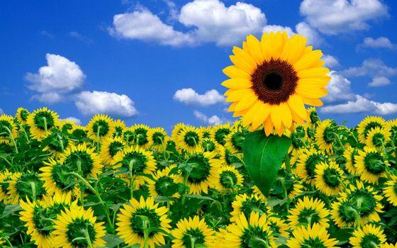 Бесплатные фото подсолнух,небо,облака,солнце,лето,жара,цветы