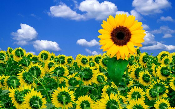 Photo free sunflower, sky, clouds
