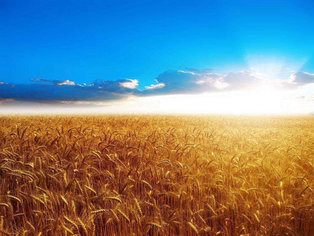 Фото бесплатно поле, колосья, солнце - на рабочий стол