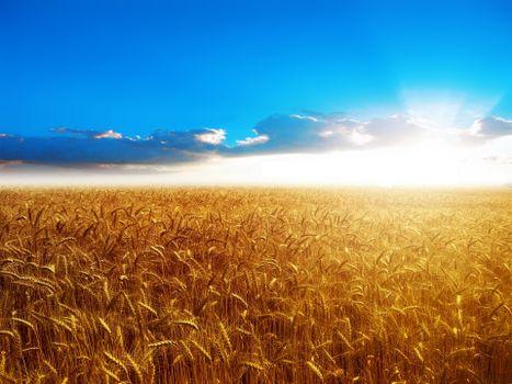 Фото бесплатно поле, колосья, солнце