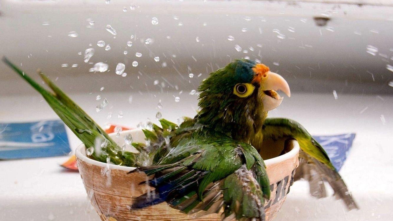 Фото бесплатно попугай, блюдце, вода, моется, клюв, крылья, брызги, стол, птицы, птицы - скачать на рабочий стол