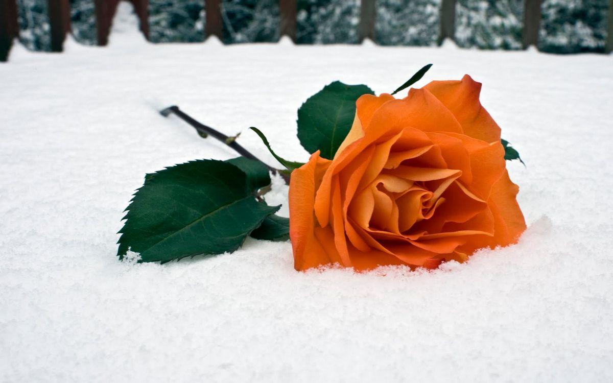Фото бесплатно роза, оранжевая, снег, мороз, холод, зима, шипы, листья, стебель, цветы, цветы