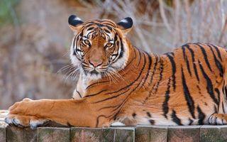 Фото бесплатно тигр, большой, хищник