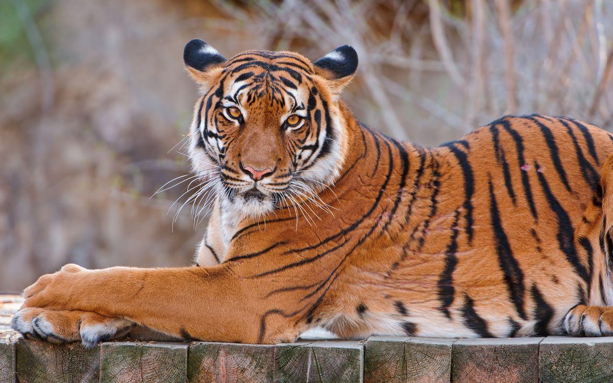 Photos for free tiger, large, predator - to the desktop