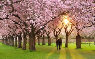 Бесплатные фото сакура,аллея,love,sakura,пара,spring,цветение