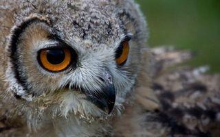 Фото бесплатно сова, голова, глаза