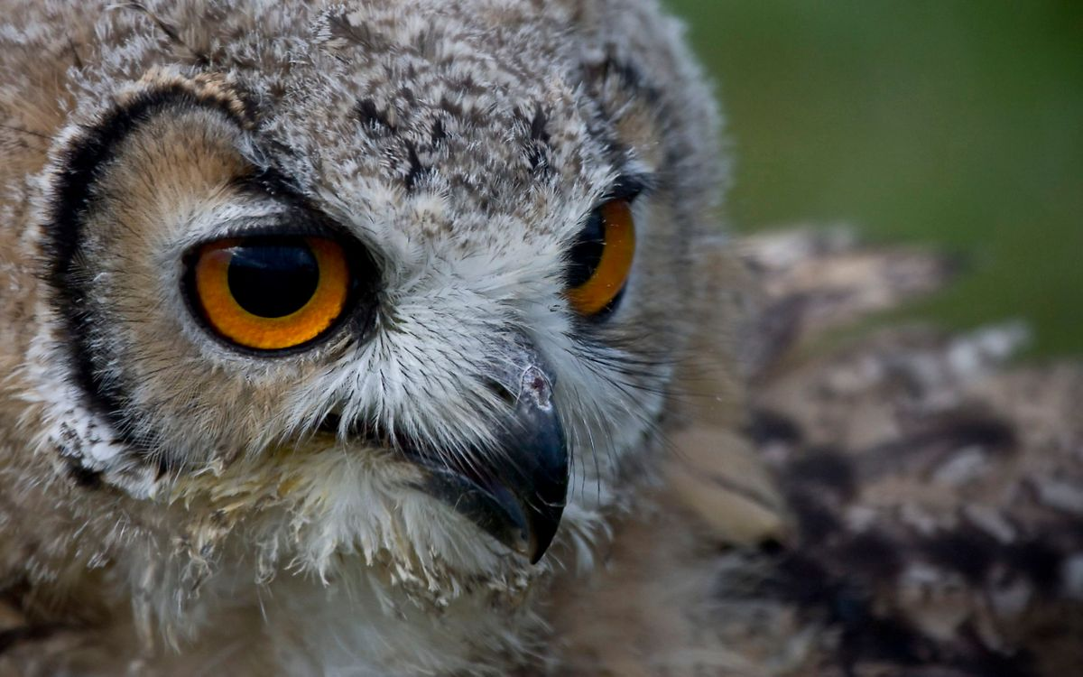 Фото бесплатно сова, голова, глаза, большие, разное, разное