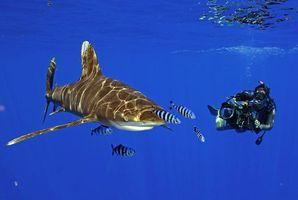 Обои акула, дайвер, похороны за свой счёт, подводный мир