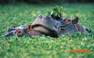 Фото бесплатно бегемот, гиппопотам, пруд