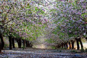 Бесплатные фото деревья,сад,кора,крона,цветки,аллея,весна