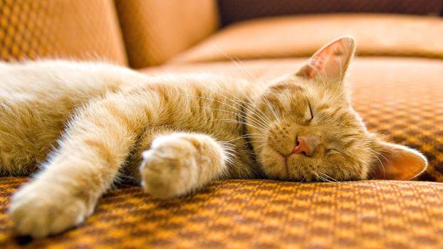 Photo free cat, red, sleeping