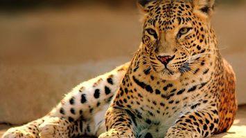 Бесплатные фото леопард,шкура,окрас,пятна,морда,лапы,грация