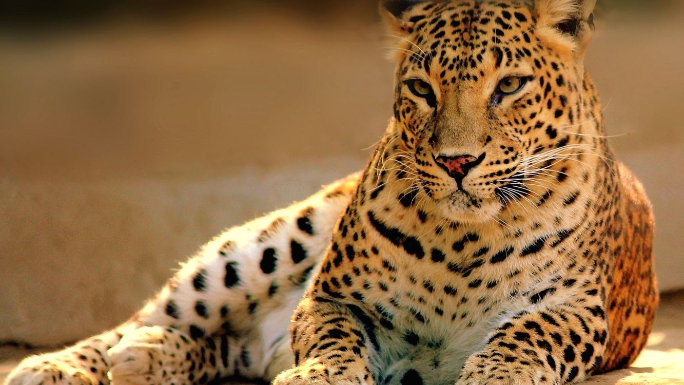 Фото бесплатно леопард, шкура, окрас, пятна, морда, лапы, грация, кошки, кошки