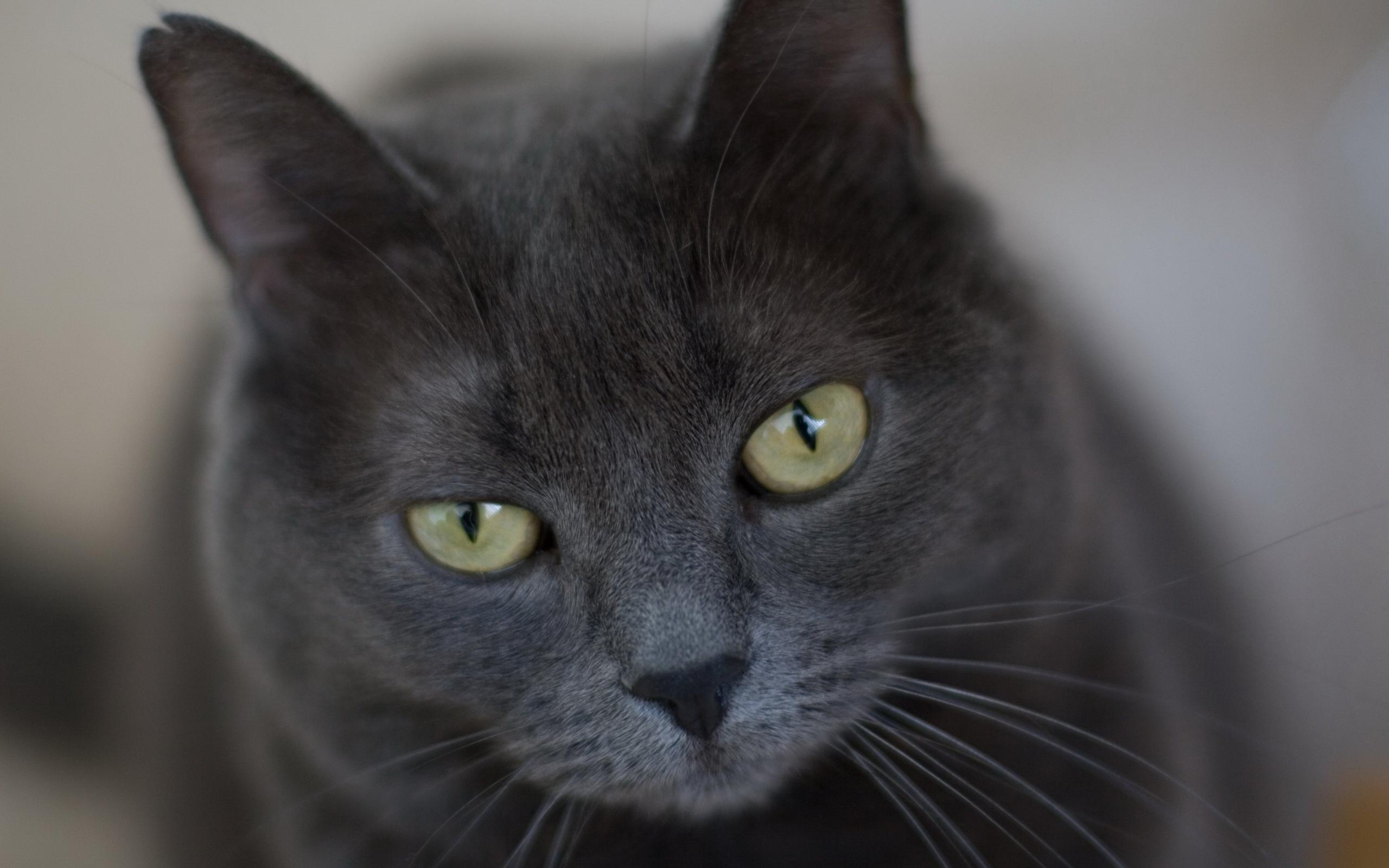 кот, окрас, серый