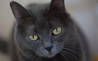 Бесплатные фото кот,окрас,серый,морда,глаза,зеленые,шерсть