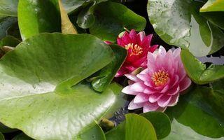 Заставки лотос, листья, болото